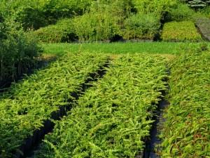 Berberis thunbergii Green Carpet_1