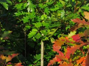 Quercus rubra 160_300_2