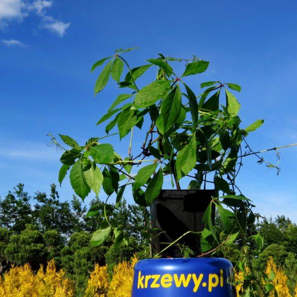 3_winobluszcz_2-3_litry_120_150_cm_5_zl_szt